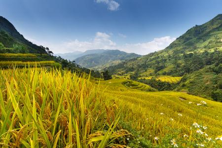 vietnamese ethnicity: Mu Cang Chai, Yen Bai province, Vietnam - October 2, 2016 : Hmong women farmer go home on terrace rice fields on mountain at Mu Cang Chai, Yen Bai province, Vietnam