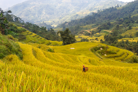 Mu Cang Chai, Yen Bai province, Vietnam - October 2, 2016 : Hmong women farmer go home on terrace rice fields on mountain at Mu Cang Chai, Yen Bai province, Vietnam