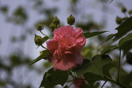 the pink beautiful flower, Hibiscus mutabilis Stock Photo