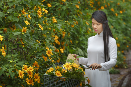 loc: Bao Loc, Lam Dong Province, Vietnam - November 5, 2016 : young girl walking on path of countryside between the bushes of wild sunflower bloom in yellow, colorful scene