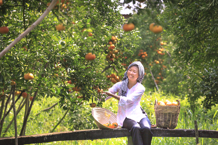 ドンタップ省、ベトナム、2017 年 1 月 13 日: 西部の女の子がメコン ・ デルタで庭に柑橘系のみかんの大きな籠を収穫 報道画像