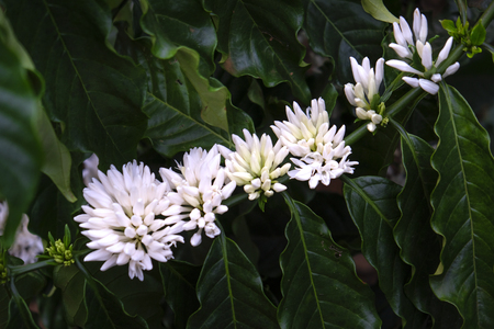 Coffee tree blossom with white color flower close up view. Stock Photo
