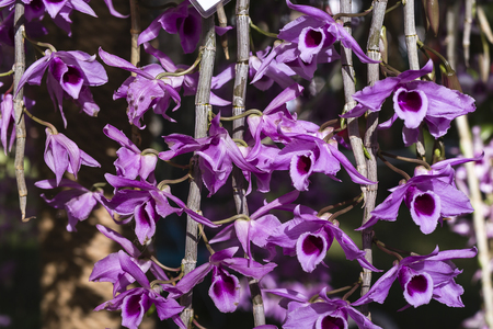 epiphyte: wild orchid blossoms pink Stock Photo