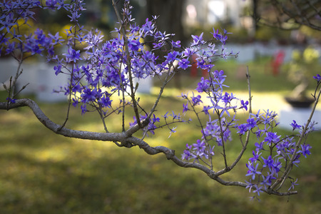 petrea: volubilis petrea trees with full of flowers is displayed in Tao Dan Park, Ho Chi Minh City, Viet Nam