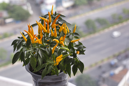 Close-up of potted chilli plants