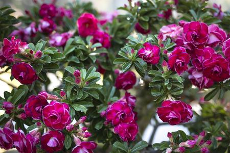 mock azalea: Desert rose flower, adenium obesum.
