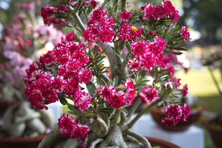 Desert red rose flower, adenium obesum.