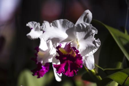 dalat: White cattleya orchid in the garden. Stock Photo