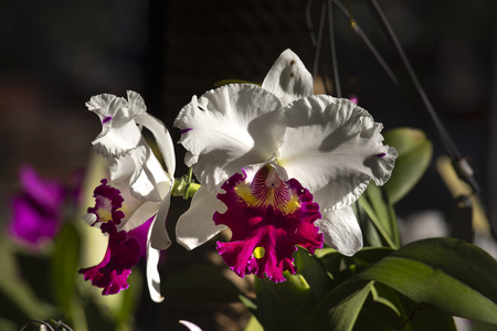 White cattleya orchid in the garden. Stock Photo