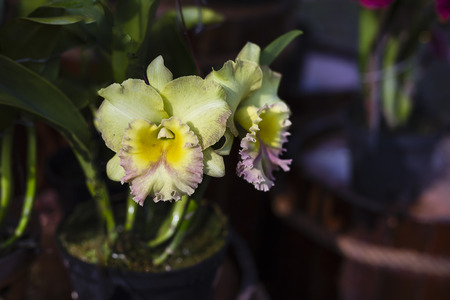 Close up yellow orchids Cattleya Stock Photo