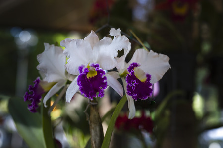 Close up purple and white orchids Cattleya Stock Photo