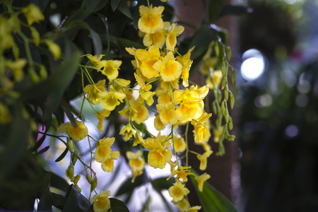 cattleya: wild yellow orchid blossoms