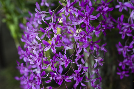 purple orchid blossoms Stock Photo