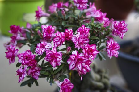 Desert rose flower, adenium obesum.