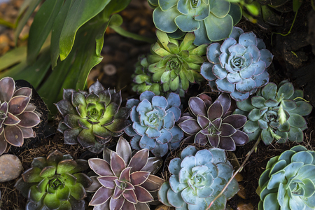 Succulent plants: stone lotus.