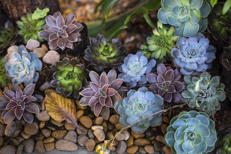 Succulenten: stenen lotus.