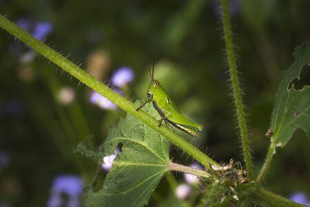 chorthippus: grasshopper sitting on a blade of grass like vegetation