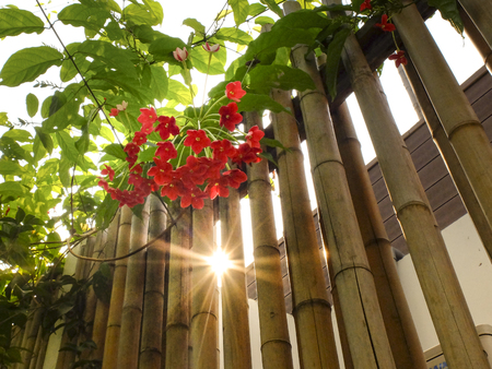 Quisqualis flower bunch on the bamboo fence with sunlight shining Stock Photo