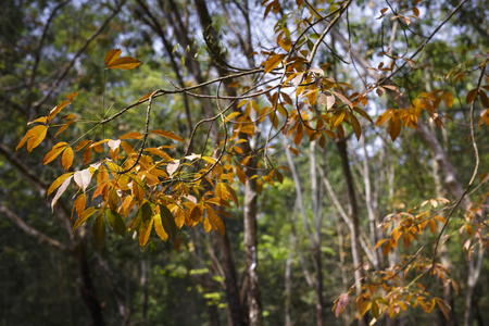 Rubber tree leaves with yellow, Autumn season