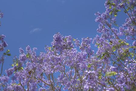 Jacaranda mimosifolia on blue sky