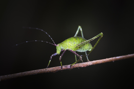 Phaneroptera sinensis on plant in the wild