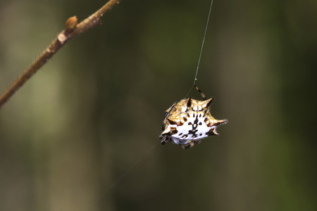 pres: Spiny orb-weaver, genus Gasteracantha (pres. Gasteracantha versicolor) also called crab spider in Ma Da forest, Viet Nam