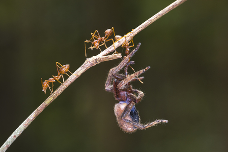formica: Some ants carrying the dead bugs. Clouse-up, in Ma Da forest, Vietnam
