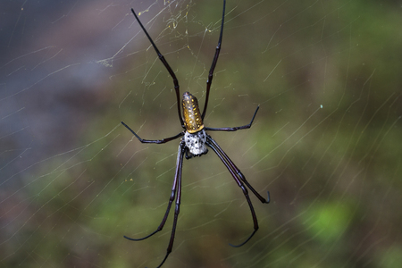 WEAVER: golden silk orb-weavers (Nephila clavipes ) spider male on a cobweb in the tropical forest in Viet Nam Stock Photo