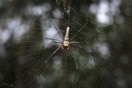 golden orb weaver: golden silk orb-weavers (Nephila clavipes ) spider male on a cobweb in the tropical forest in Viet Nam Stock Photo