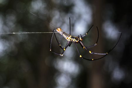 golden silk orb-weavers (Nephila clavipes ) spider male on a cobweb in the tropical forest which is collecting its golden silk when its going to rain
