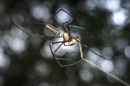golden orb weaver: golden silk orb-weavers (Nephila clavipes ) spider male on a cobweb in the tropical forest which is collecting its golden silk when its going to rain