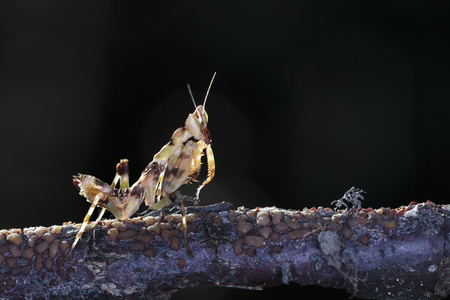 mantid: Mantis on branch tree in Ma Da forest, Viet Nam. Close-up