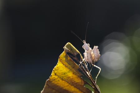 Unicorn Mantis (Ceratomantis saussurii) on the yellow leaf in Ma Da forest, Viet Nam. Close-up
