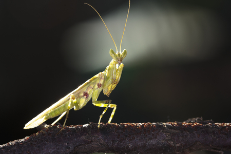 Mantis on branch tree in Ma Da forest, Viet Nam. Close-up