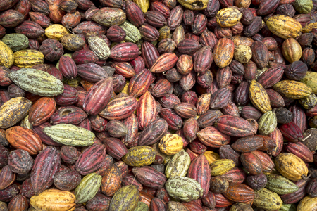 Dak Nong province, Viet Nam - Newly harvested cocoa from farmers. Fruit of cocoa plants used in food industry for producing chocolate, natural cacao butter, powder and drinks