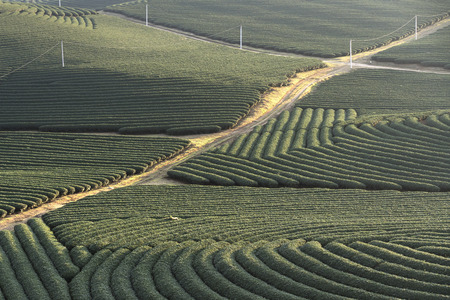Tea field on the hill in Moc Chau, Vietnam. Moc Chau Plateau is known as one of the most attractive tourists destination in Northern Vietnam.