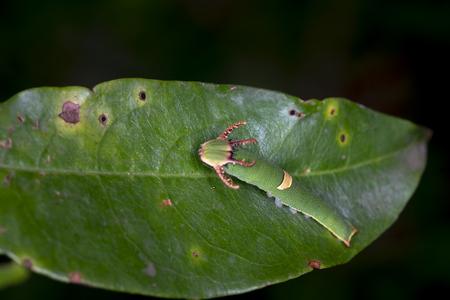dragon worm on green leaf