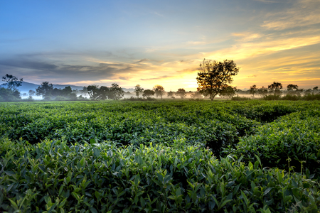 Beautiful dawn with early morning dew on tea plantations of Bien Ho tea farm, Gia Lai Province, Vietnam
