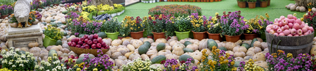 Haloween decorations. The arrangement of pumpkins Preparing for Halloween Stock Photo