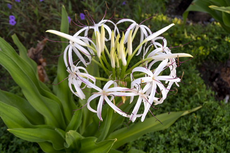 Beautiful Hymenocallis - white tropical flower with long thin petals