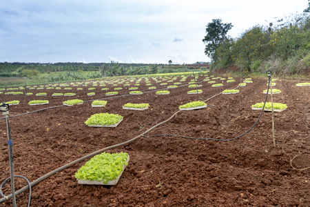 A small garden was prepared for growing lettuce in Dalat town, Lam Dong province, Vietnam