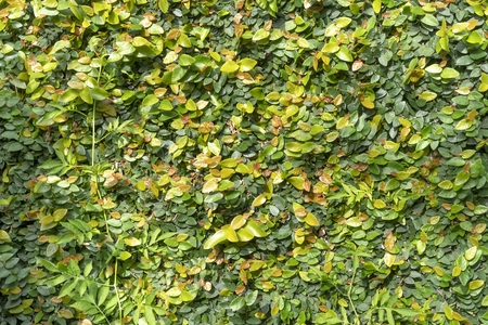 the leaves of green ivy propagate on the wall and form a background texture
