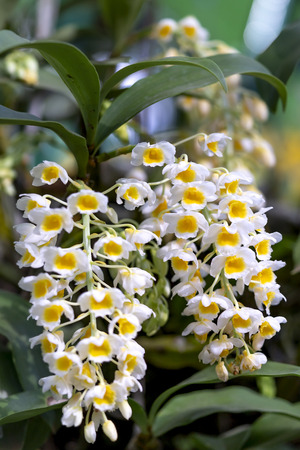 Dendrobium thyrsiflorum orchid flowers In the garden