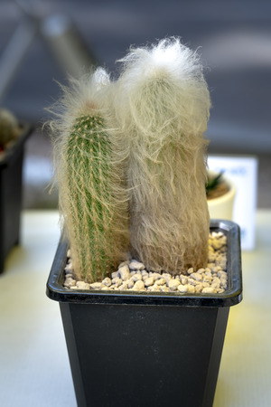 Close up of small cactus in the pots 版權商用圖片