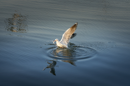Seagull catching the fish in the sea
