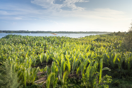 Forest of Nypa palm trees at Cua Dai estuary in Hoi An, Quang Nam, Vietnam