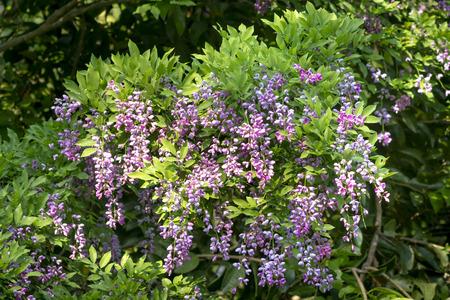 Millettia brandisiana to wieloletnia roślina z rodziny fasoli. Fioletowe kwiaty kwitnące na półwyspie Son Tra, Da Nang, Wietnam Zdjęcie Seryjne