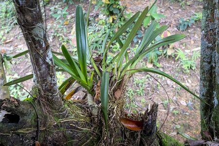 Orchids live parasitic on a large tree trunk in the tropical jungle of Nam Cat Tien National Park, Vietnam