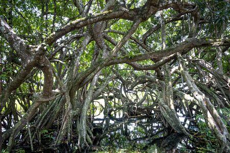 Ficus Tree , ficus benjamina in in Nam Cat Tien nature reserve in Dong Nai province, Vietnam Stockfoto - 132407561