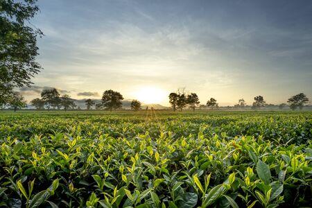 See the tea garden in the early morning at tea farm in Pleiku town, Gia Lai province, Vietnam. Stock Photo